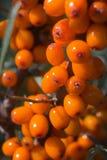 Olivello spinoso Fotografia Stock