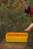 Olivello spinoso Fotografia Stock Libera da Diritti
