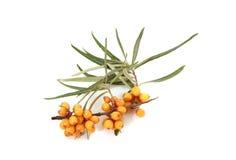 Olivello spinoso con le foglie isolate su fondo bianco Immagine Stock