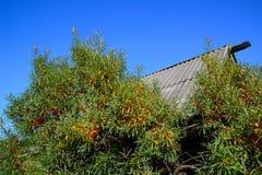 Olivello spinoso e vecchio tetto Immagine Stock
