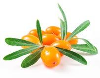Olivello spinoso isolato sul bianco Immagini Stock