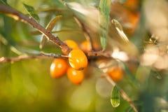 Olivello spinoso/ramnoidi di Hippophae Immagine Stock