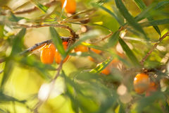 Olivello spinoso/ramnoidi di Hippophae Fotografia Stock
