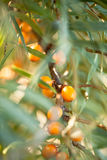 Olivello spinoso/ramnoidi di Hippophae Immagini Stock