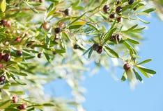 Oliven Stockbilder