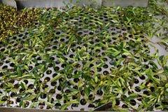 Oliven, Abbau von Blättern, Ölmühle in Griechenland Lizenzfreies Stockfoto