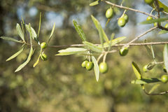 Oliven auf dem Baum Lizenzfreie Stockbilder