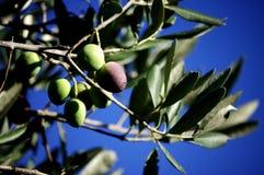 Oliven auf dem Baum Lizenzfreie Stockfotos