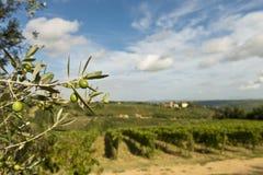 Oliven auf dem Baum und Weinberg auf Hintergrund Stockfotografie