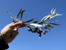 Oliven auf einem Zweig Stockfoto