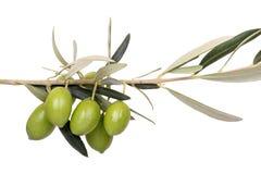 Oliven auf Zweig Stockfotos