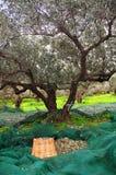 Oliven aufheben Stockfoto