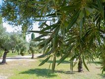Oliven in einem Baum stockfoto