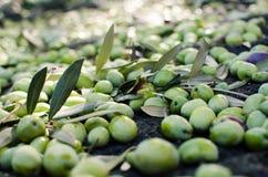 Oliven-Ernte Lizenzfreies Stockbild