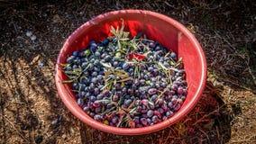 Oliven ernten Sammeln im Landwirtkorb an Mittelmeer Stockfotos