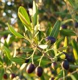 Oliven im Moring Lizenzfreies Stockfoto