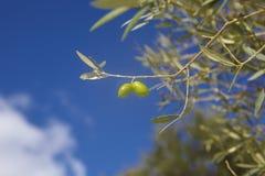 Oliven in Kreta, Griechenland Stockbild