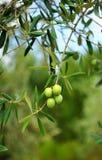 Oliven, Olivenöl, Andalusien, Spanien Lizenzfreie Stockfotos