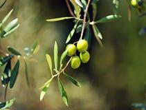 Oliven, Olivenöl, Andalusien, Spanien Stockbild