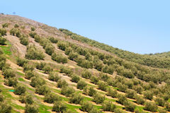 Oliven pflanzen an den Hügelfeldern Stockfotos