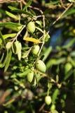 Oliven in Rhodos-Insel Stockfoto
