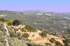 Oliven von Cazorla lizenzfreie stockbilder