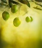 Olivenauslegunghintergrund Stockfotos