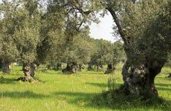 Olivenbäume Stockfotografie