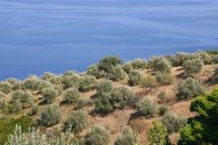 Olivenbäume Lizenzfreies Stockbild
