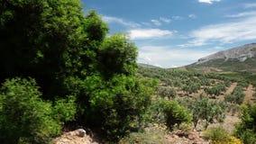 Olivenbäume stock footage
