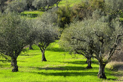 Olivenbäume Stockbild