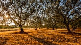 Olivenbäume archiviert vor dem Sonnenuntergang Lizenzfreies Stockfoto