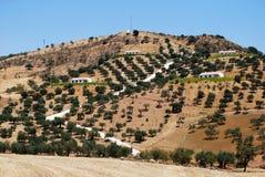 Olivenbäume auf Bergabhang, Andalusien Stockfotos