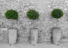 Olivenbäume auf dem Hintergrund einer Steinwand stockfotografie