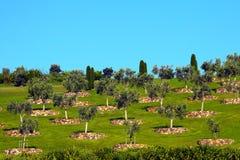 Olivenbäume auf Gras-Hügel Stockfotos