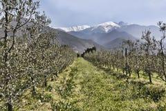 Olivenbäume in den Reihen unter den schneebedeckten Spitzen Stockfotografie
