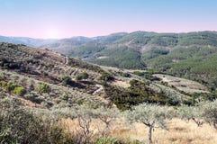 Olivenbäume an der Dämmerung lizenzfreies stockbild