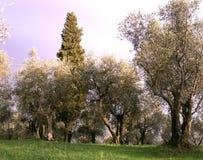 Olivenbäume der toskanischen Landschaft Landschaft mit Bearbeitung von Olivenbäumen lizenzfreies stockfoto