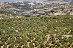 Olivenbäume, die zum Horizont in Andalusien erreichen Stockfotos