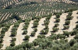 Olivenbäume, die zum Horizont in Andalusien erreichen Stockbild