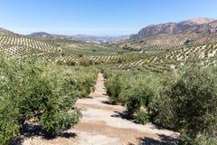 Olivenbäume, die zum Horizont in Andalusien erreichen Stockbilder
