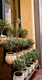 Olivenbäume für Verkauf in Provence Lizenzfreie Stockfotos
