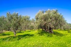 Olivenbäume grovein Kreta-Insel, Griechenland Stockfoto