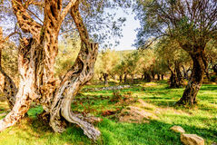 Olivenbäume im Herbst in Valdanos, Ulcinj, Montenegro Stockbilder