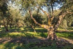 Olivenbäume mit der Bewässerung, die im olivgrünen Obstgarten wächst Lizenzfreie Stockbilder