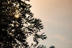 Olivenbäume mit Sonnenunterganghimmel als Hintergrund Stockbild