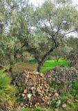 Olivenbäume, Oliven, Olivenöl, Andalusien, Spanien Stockbild
