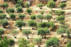 Olivenbäume in Provence Stockfoto