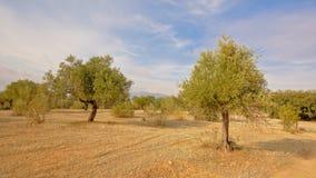 Olivenbäume in Sierra Nevada -Bergen, Andalusien, Spanien Stockfotografie