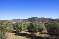 Olivenbäume und Berge von Andalusien unter blauem Himmel Stockfoto